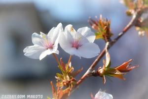 2016/3/31 桜